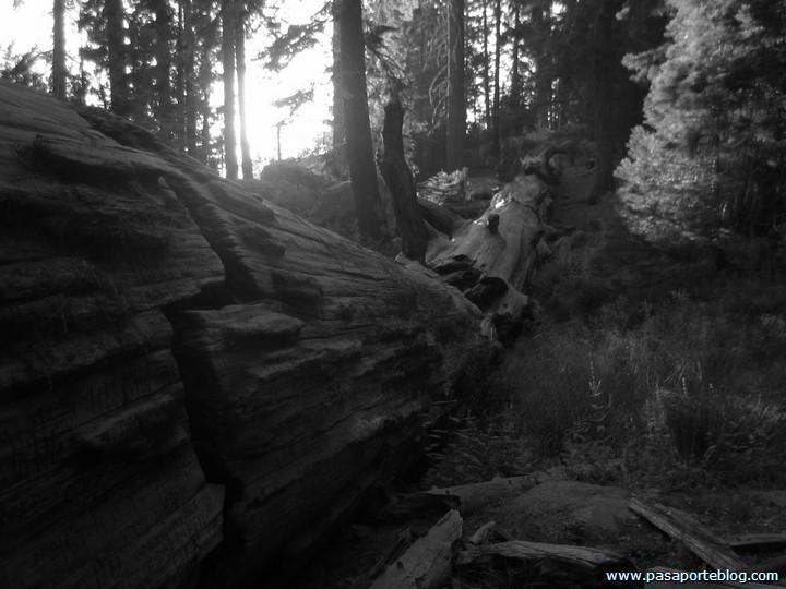 Sequoia caida