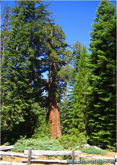 Sequoia Gigante Arbol Mas Grande del Mundo