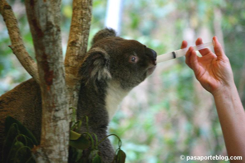 koala eucaliptos