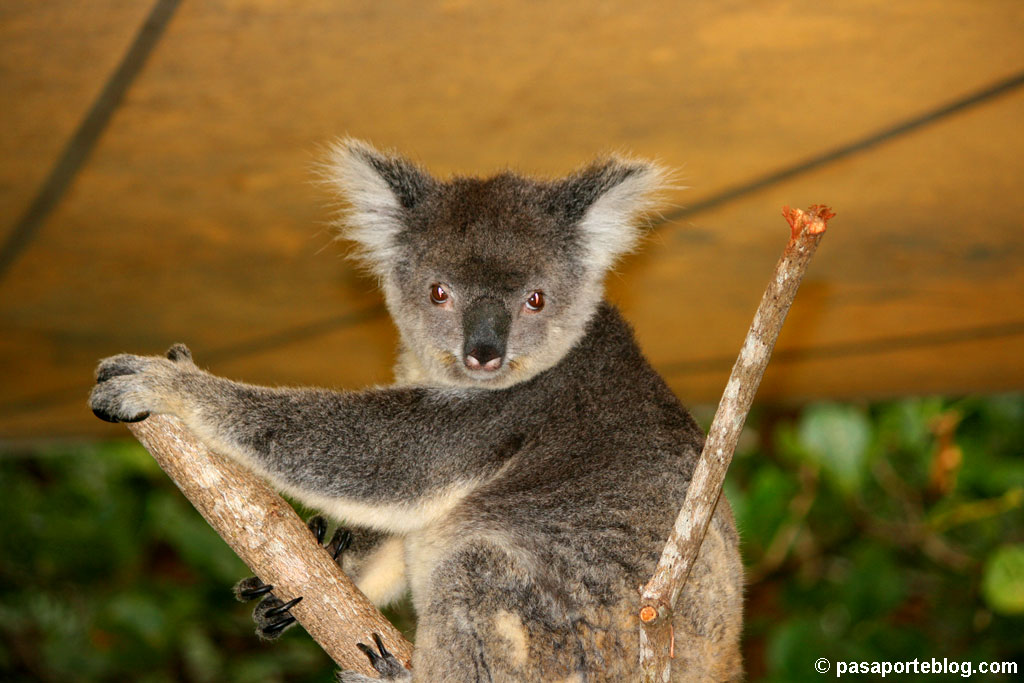 koala marsupial