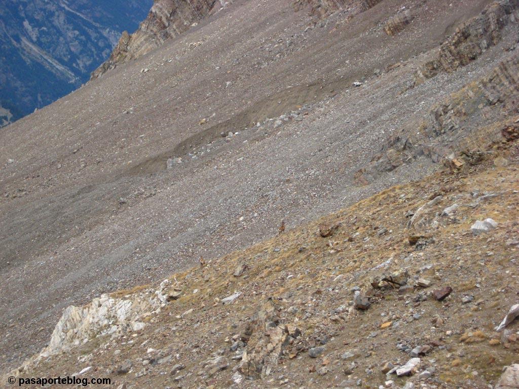 Cabras montesas en el Collado de Eriste, Pirineos