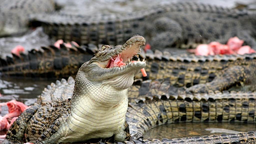 cocodrilos viaje a australia
