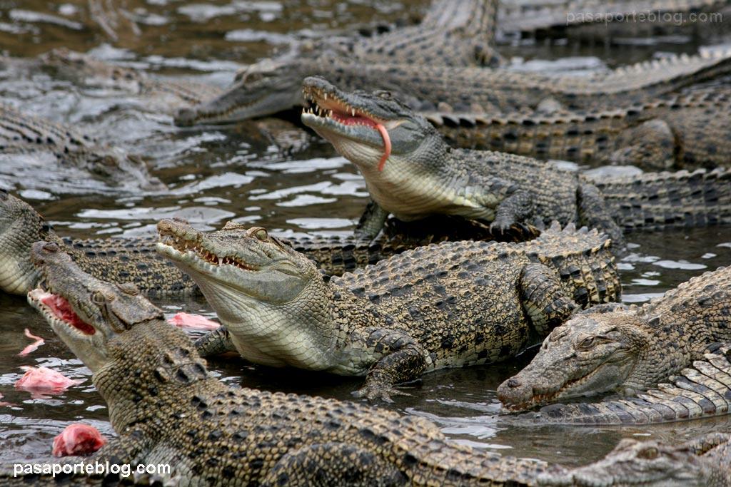 cocodrilos comiendo viaje a australia
