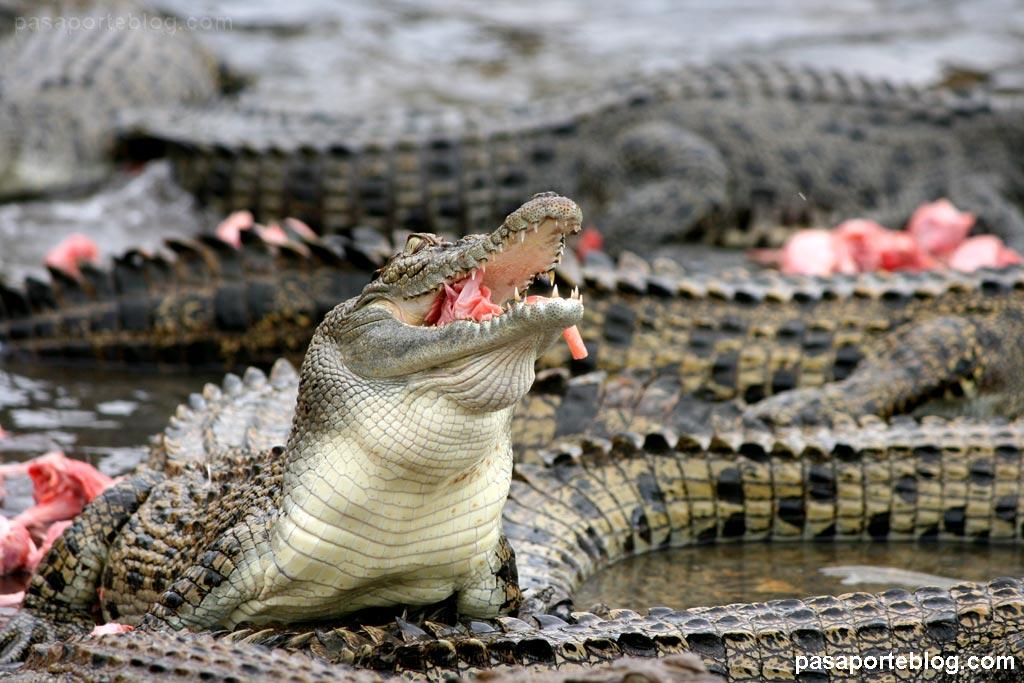 cocodrilos alimentandose australia