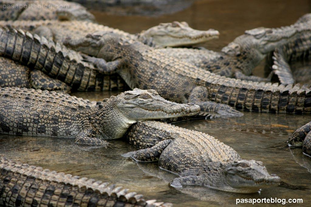 granja de cocodrilos viaje a australia