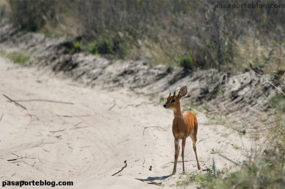 antilope racifero comun nxai pans africa