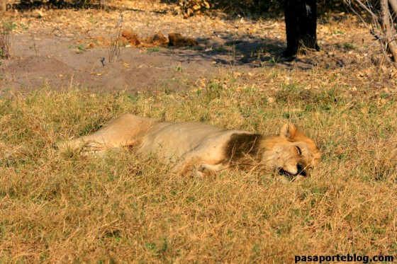 Leon descansando, safari en Moremi, Botwsana