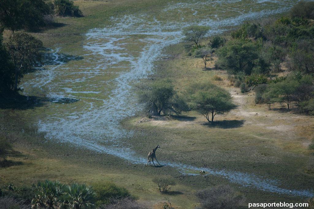 Jirafa en el Delta del Okavango, Botswana