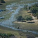 Leones que nadan, delta del Okavango