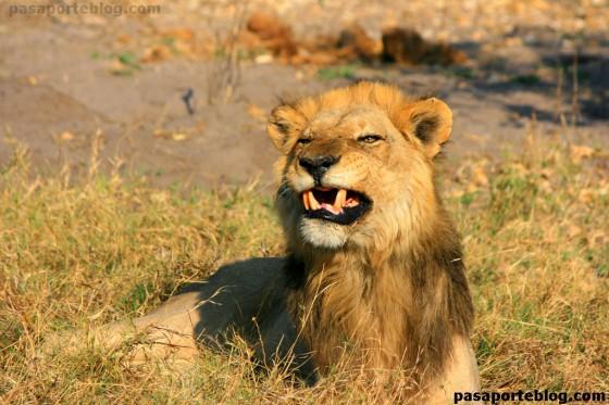 leon agresivo
