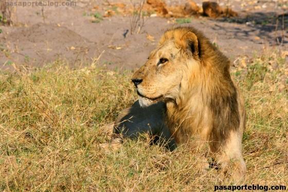 Leon Safari en Moremi, Ruta Rio Perdido, Delta del Okawango