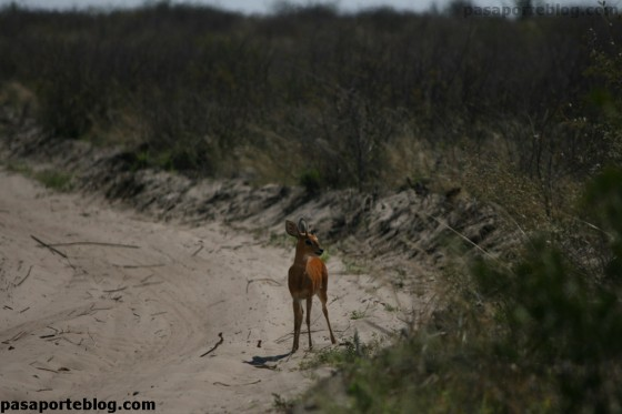 antilope racifero comun nxaix pans botswana