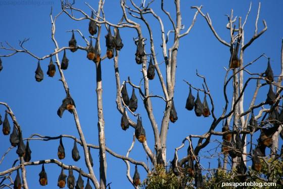 murcielagos sydney australia