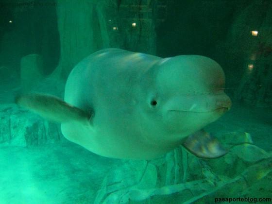 ballena beluga valencia