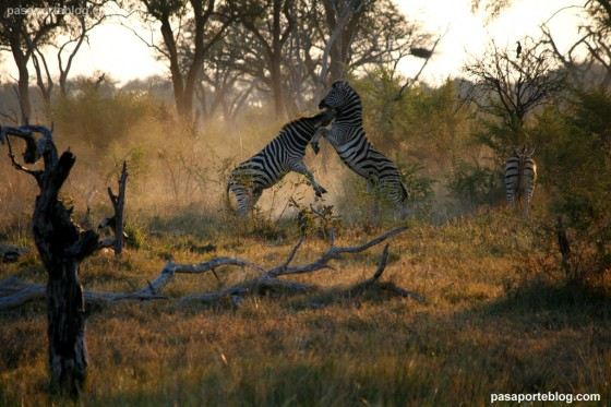 cebras o zebras