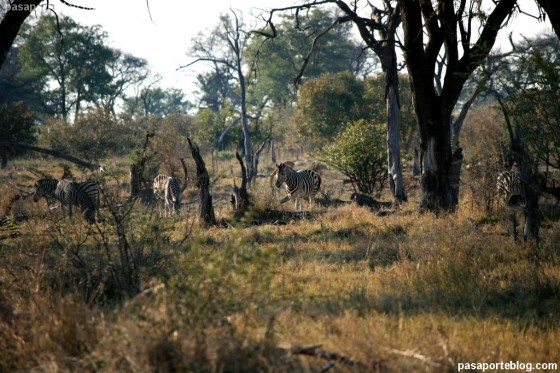 cebras reserva de moremi, ruta rio perdido, safari en Africa