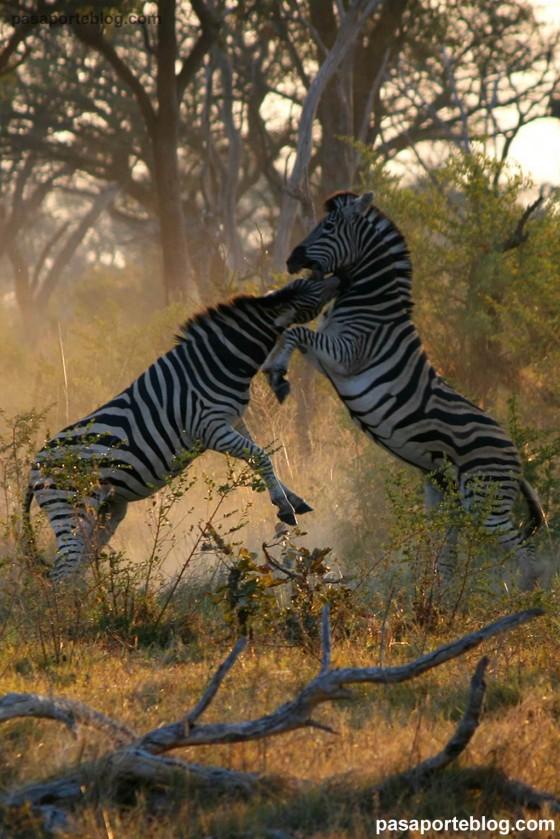 zebras en moremi copia