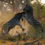 Cebras luchando por ser el macho dominante, Botswana