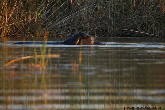 hipopotamos delta del okavango