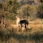 Antilope de Agua o Cobo Lichi, Delta del Okavango, Botswana