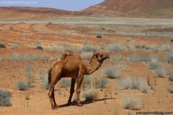 dromedario o camello arabico