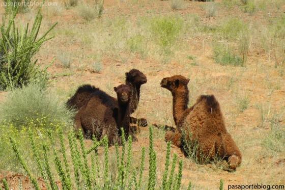 camellos o dromeradrios, una joroba: dromedarios