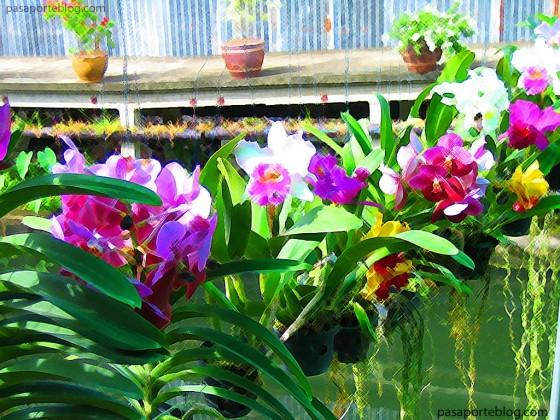 orquideas tailandia