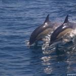 Delfines en Gibraltar, jugando con un petrolero