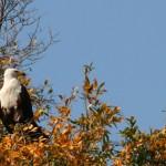 Águila pescadora en el Delta del Okavango, Botswana, Africa