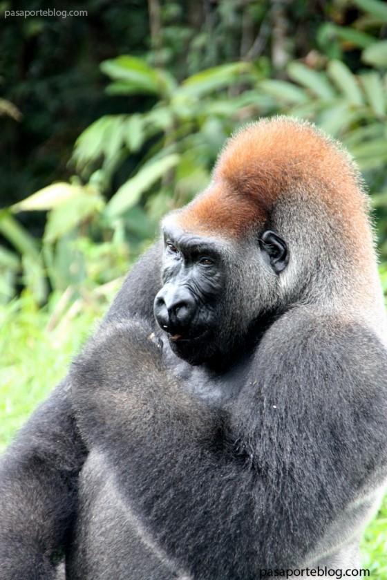 gorila congo animales-salvajes