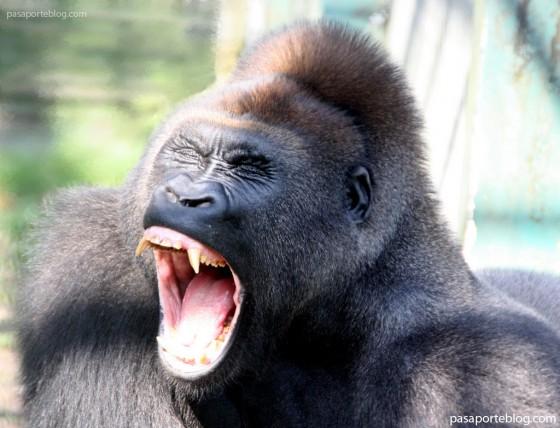 gorilas territoriales en la republica del congo