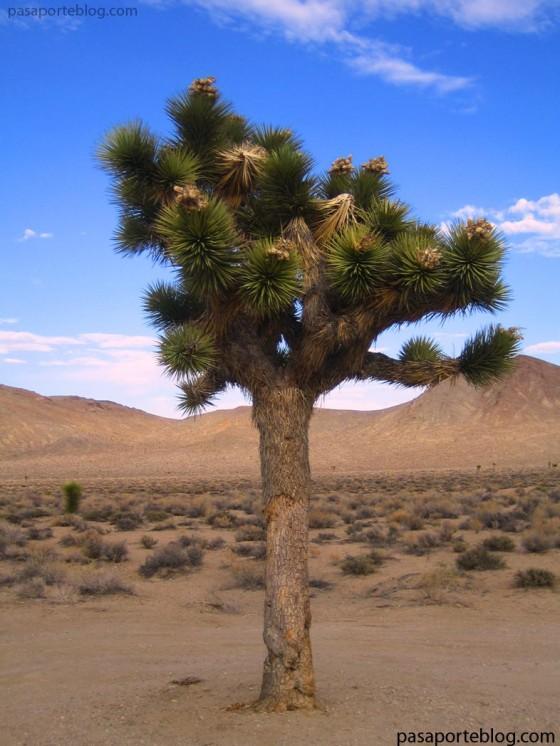 yoshua tree arbol de josua desierto mojave VIAJE COSTA OESTE