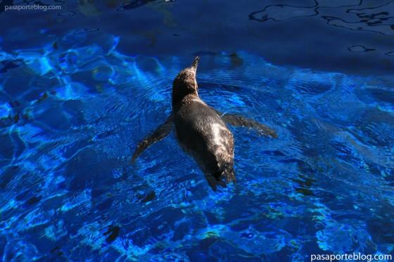 un-pinguino-en-el-oceanografico-de-valencia