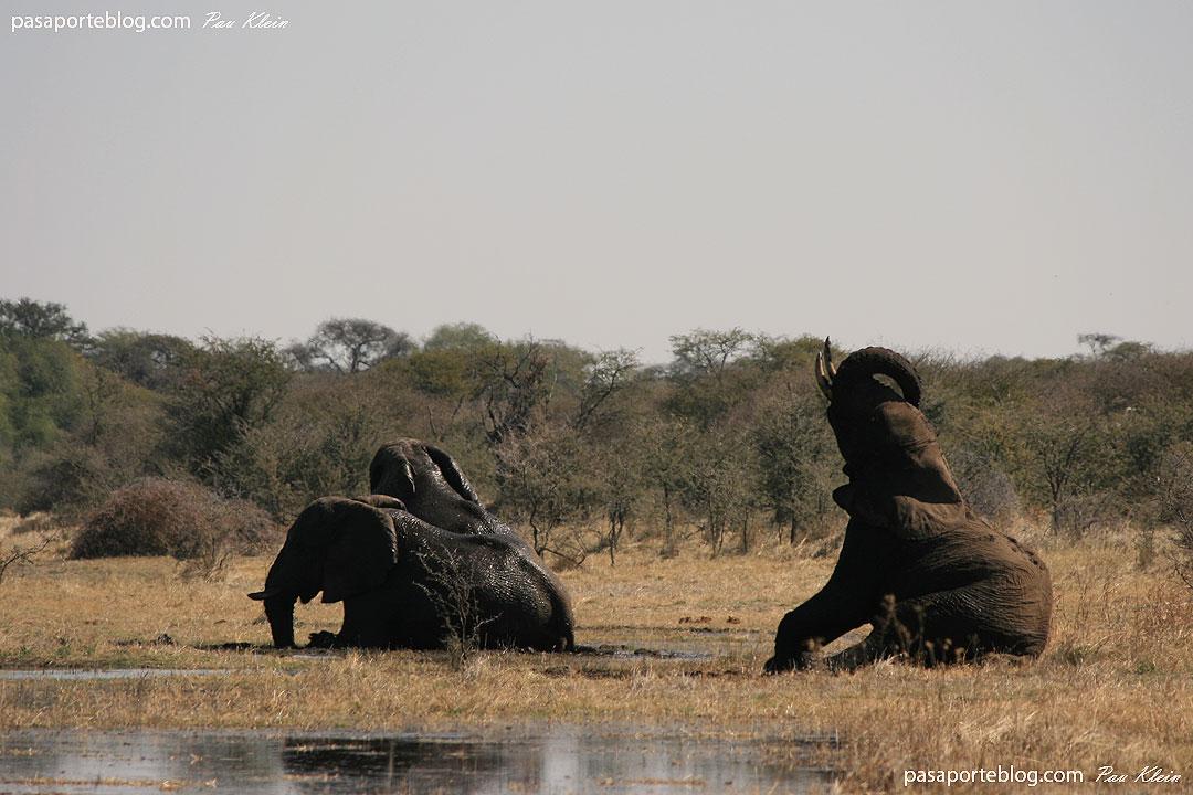 elefantes en botswana bano de barro fotos botswana