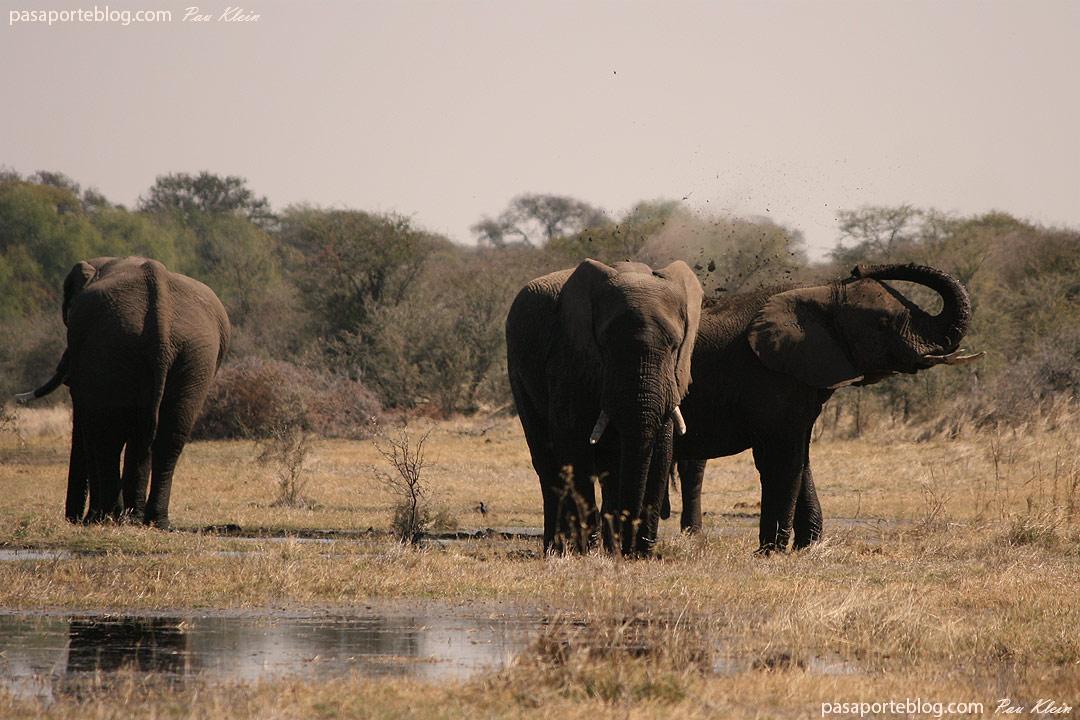 elefantes en estado salvaje en el viaje a Africa