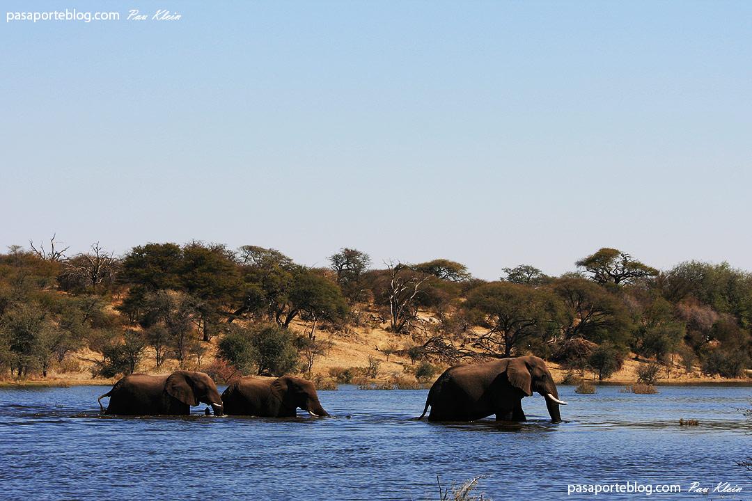 elefantes en el rio makgadikgadi reserva botswana fotos
