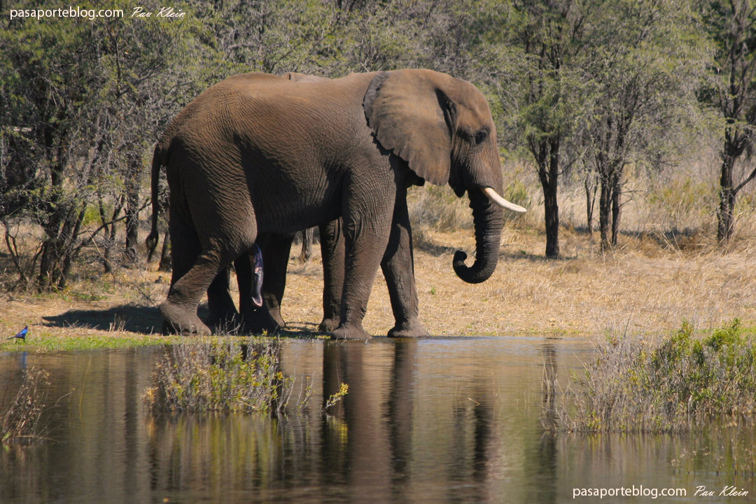 las 6 patas del elefante botswana