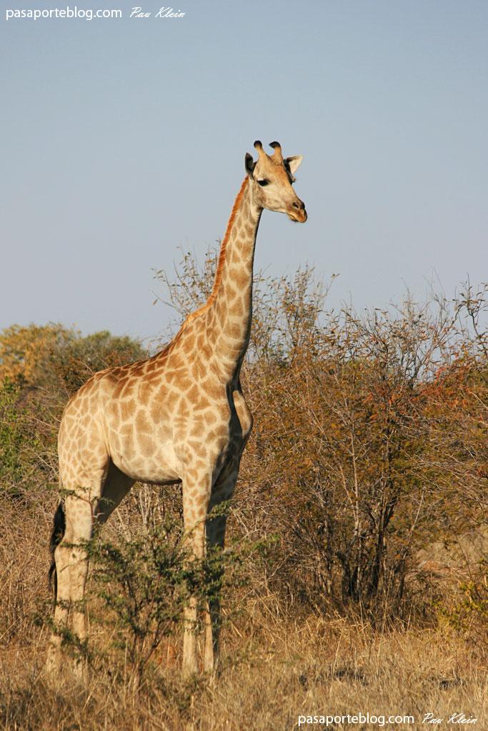 Jirafa en africa viaje a Botswana