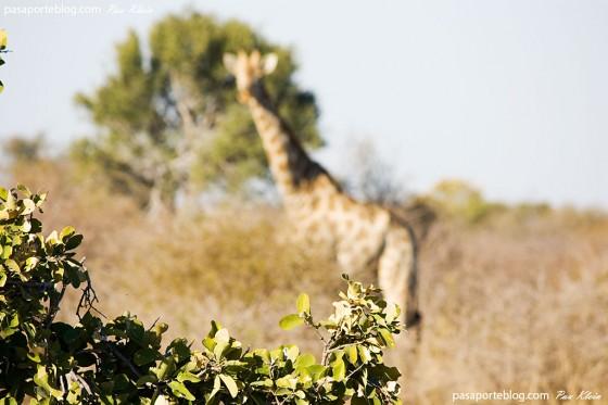 Jirafa en África, viaje a Botswana