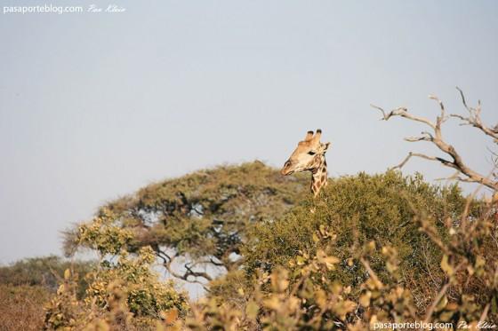 jirafas en safari en botswana