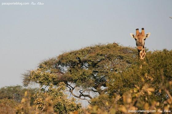fotografia de jirafa mirando a la cámara viaje a africa