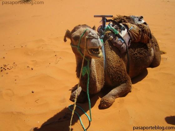camellos en el desierto del sahara, viaje a marruecos