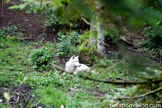 lobo blanco en los pirineos