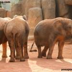 Elefantes africanos del Zoo de Valencia