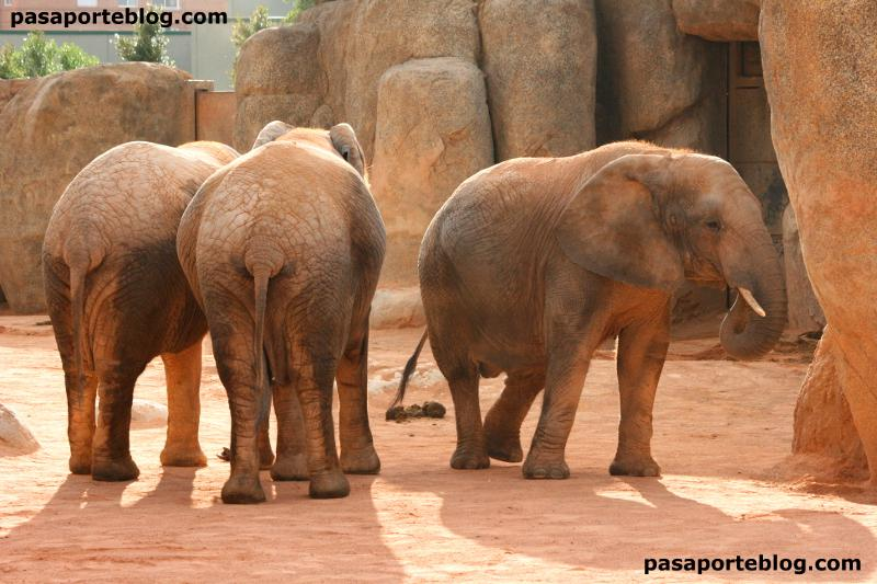 Elefantes en el zoo de Valencia