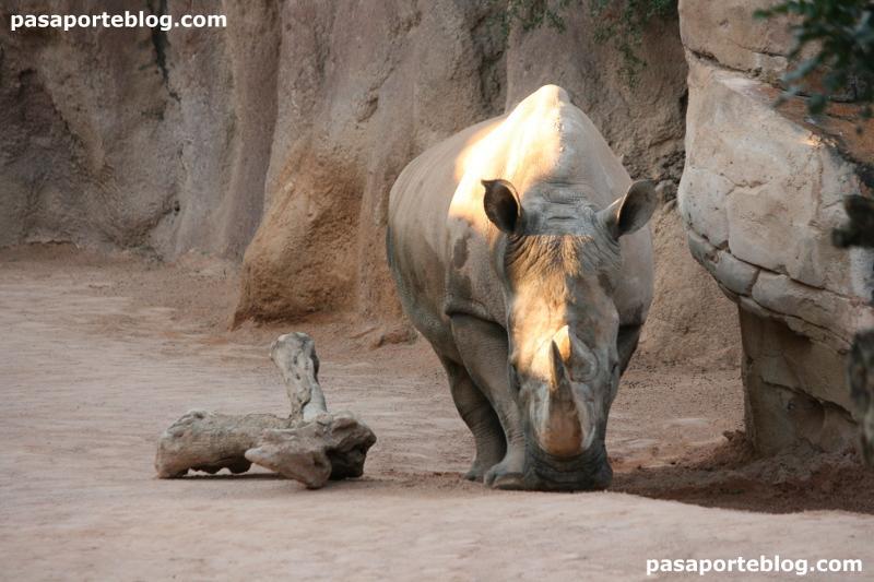 Rinoceronte en el zoo de Valencia