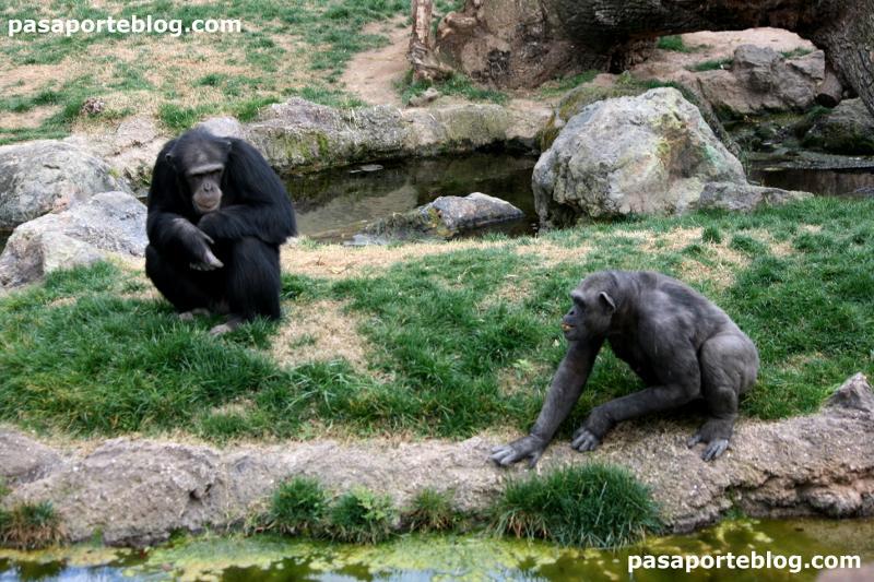 Chimpancés en el zoo de Valencia