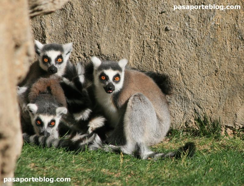 Lemures en el zoo de Valencia