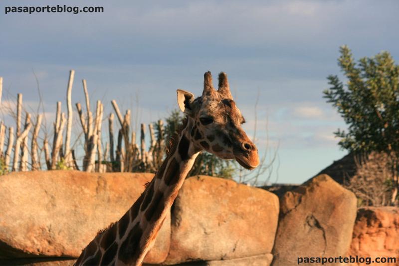 Jirafas, rumiantes en el zoo de Valencia
