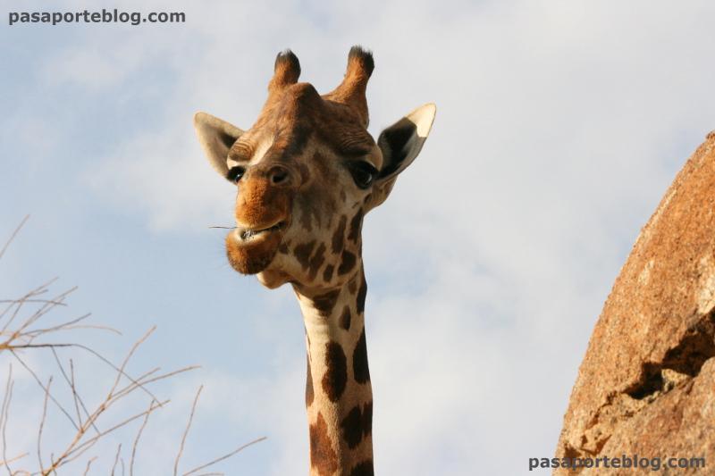 Jirafa comiendo en el zoo de Valencia
